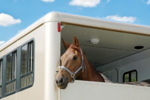 Horse looking out of the back of a horse trailer on bright summer day
